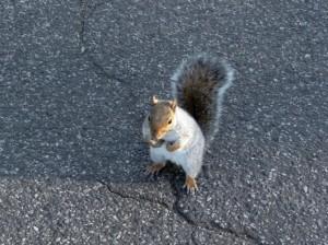 Petit écureuil gris à Central Parc