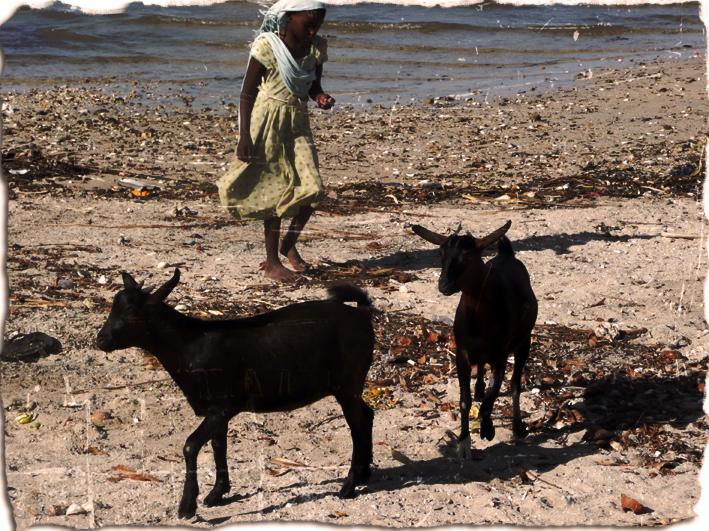 Chèvres, Nungwi, Zanzibar